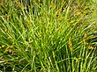 Carex stipata (4155810972).jpg
