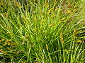 Carex stipata (4155810972).jpg