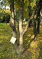 Carpinus orientalis (7).JPG