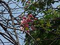 Cassia grandis (2392601754).jpg
