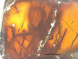 2008 in paleontology - Cataglyphoides constrictus