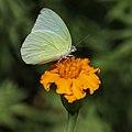 Catopsilia pomona (Emigrant butterfly) on Tagetes lucida.jpg