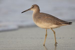 Tringa - Willet (Tringa semipalmata), formerly in monotypic Catoptrophorus