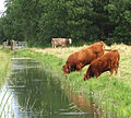 Cattle at drainage ditch - geograph.org.uk - 1480229.jpg