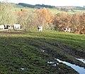Cattle in a muddy field - geograph.org.uk - 1579574.jpg