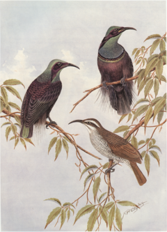 Cayley p22 Magnificent Riflebirds.png