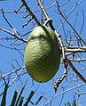 Ceiba speciosa - Naples Botanical Garden - Naples, Florida - DSC09741.jpg