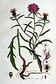 Centaurea jacea — Flora Batava — Volume v1.jpg