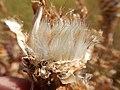 Centaurea macrocephala (29238250222).jpg