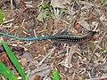 Central American Whiptail (Ameiva festiva) (6788544579).jpg