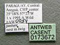 Cephalotes depressus casent0173672 label 1.jpg