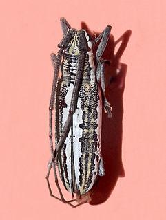 <i>Neoptychodes trilineatus</i> Species of beetle