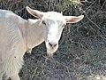 Chèvre blanche sans cornes en Crète 01.jpg