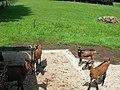 Chèvres (Capra aegagrus hircus) (01).jpg