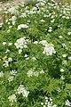 Chaerophyllum aureum kz07.jpg