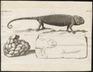 Chamaeleo vulgaris - met eieren - 1700-1880 - Print - Iconographia Zoologica - Special Collections University of Amsterdam - UBA01 IZ12300021.tif