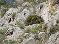 Chamaerops humilis MP02.JPG