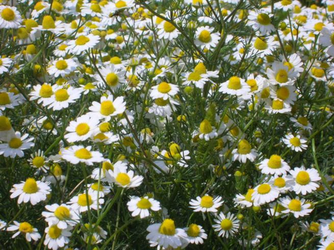 Daisy Vs Camomile What S The Difference Ask Difference