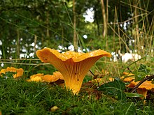 Chanterelles - geograph.org.uk - 920622.jpg