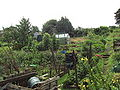 Chapel Allerton allotments, Leeds - DSC07622.JPG