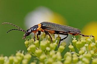 Soldier beetle - Chauliognathus lugubris