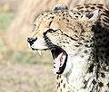 Cheetah yawning.jpg