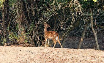 Cheetal.jpg