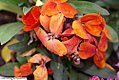 Cheiranthus Charity Rose Red 0zz.jpg