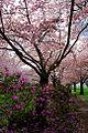 Cherry Blossoms (Marion County, Oregon scenic images) (marDA0051b).jpg