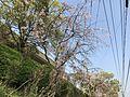 Cherry blossoms near Sasaguri Station 2.jpg