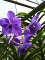 Chiang Mai Orchids P1110379.JPG