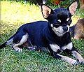 Chihuahua sc.jpg