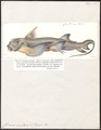 Chimaera monstrosa - 1700-1880 - Print - Iconographia Zoologica - Special Collections University of Amsterdam - UBA01 IZ14100003.tif