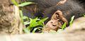 Chimpanzee VII (13945324101).jpg