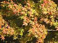 Chinar Tree.jpg