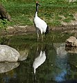 Chinese kraanvogel (Grus japonensis).jpg