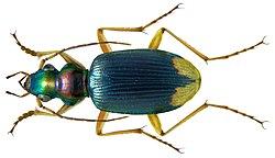 Chlaenius apicalis LeConte, 1851 (3150121969).jpg