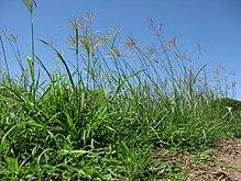 Трава с соцветием перед голубым небом