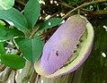 Chocolate Vine, Akebia quinata fruit (36368946404).jpg