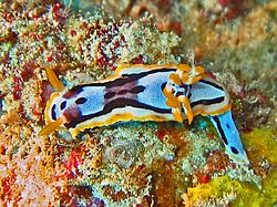 Chromodorididae - Chromodoris michaeli.jpg