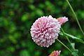Chrysanthemum - Science City - Kolkata 2012-01-11 8027.JPG