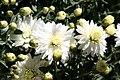Chrysanthemum Geneva 0zz.jpg
