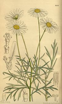 Chrysanthemum foeniculaceum 142-8644