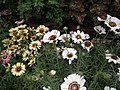 Chrysanthemum from Lalbagh flower show Aug 2013 8325.JPG