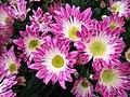 Chrysanthemum morifolium j02.jpg