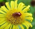 Chrysomelidae (36955114456).jpg
