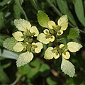 Chrysosplenium nagasei (fruits s2).jpg