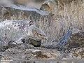 Chukar Partridge (Alectoris chukar) (45091468914).jpg