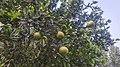Citrus tree in Punjab, Pakistan 2017-10-19.jpg