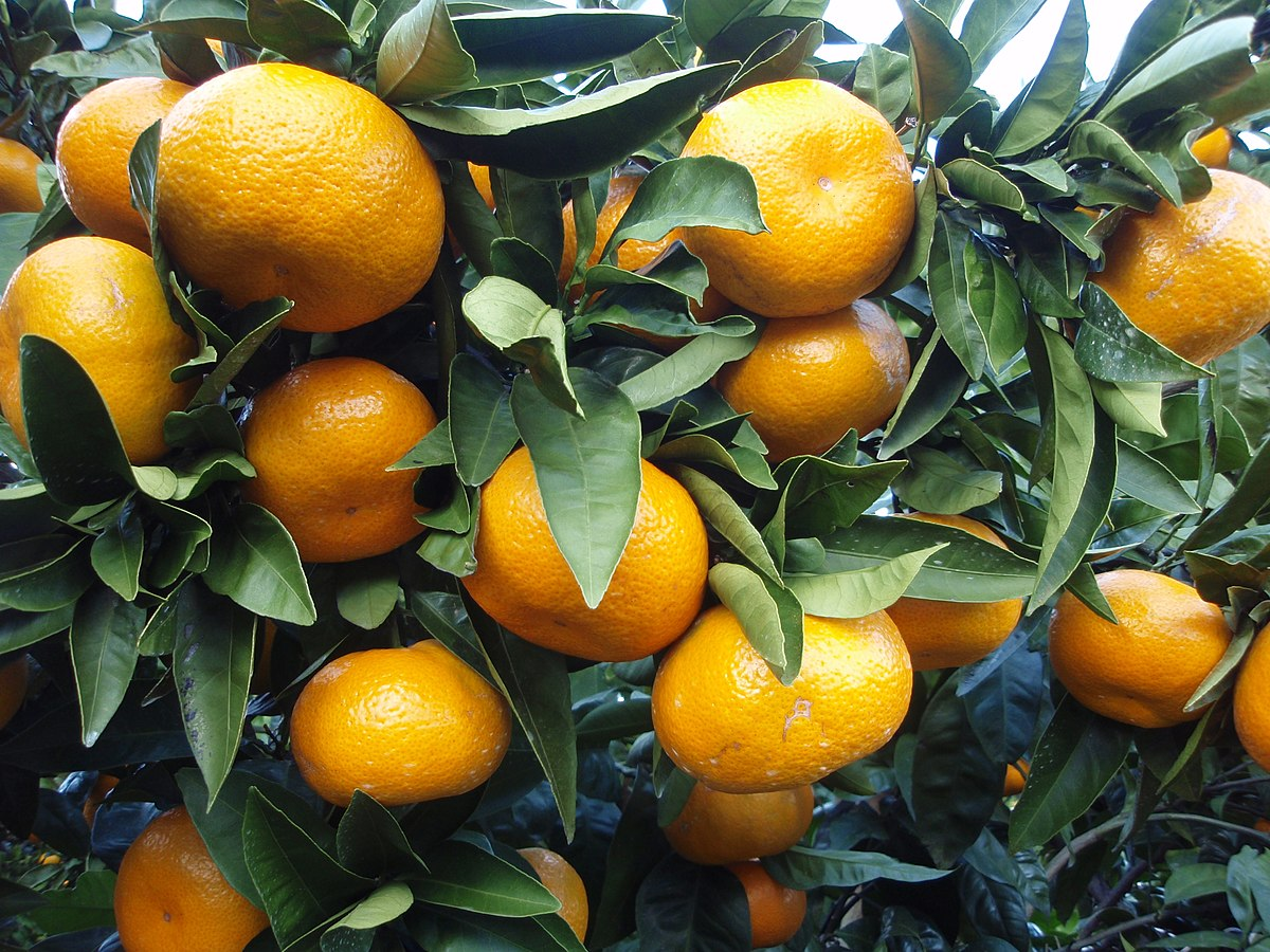 Image result for satsumas
